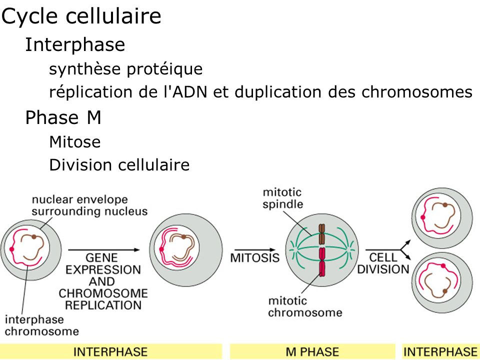 Fig 4-20 Cycle cellulaire Interphase Phase M synthèse protéique