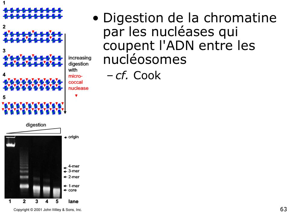 Digestion de la chromatine par les nucléases qui coupent l ADN entre les nucléosomes