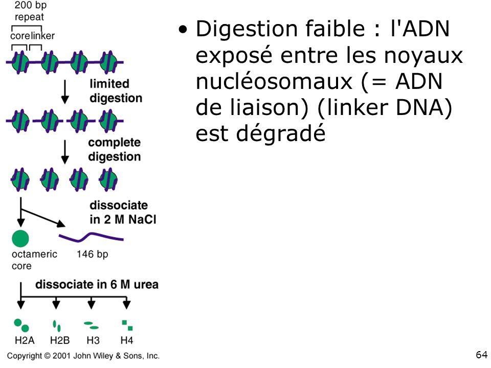 Digestion faible : l ADN exposé entre les noyaux nucléosomaux (= ADN de liaison) (linker DNA) est dégradé