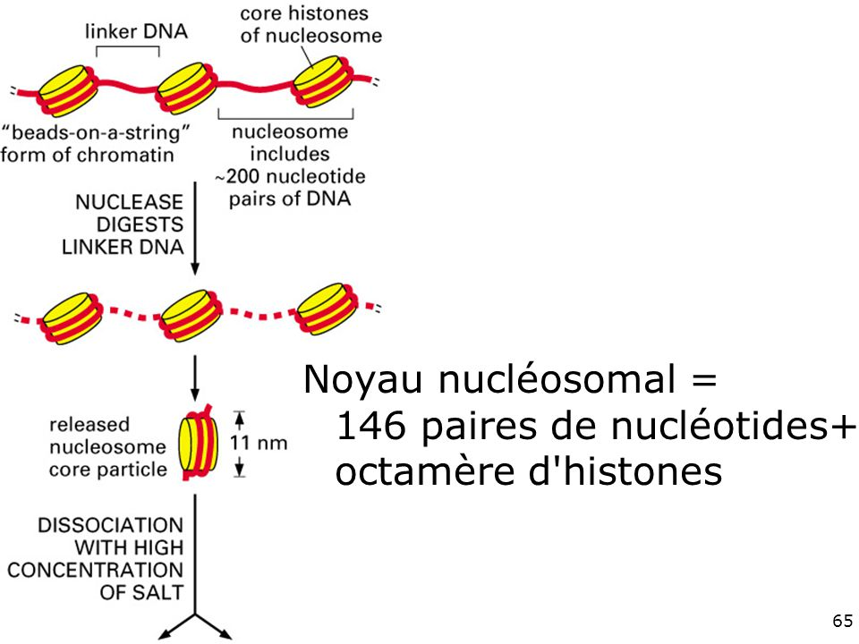 Fig 4-24haut Noyau nucléosomal = 146 paires de nucléotides+ octamère d histones