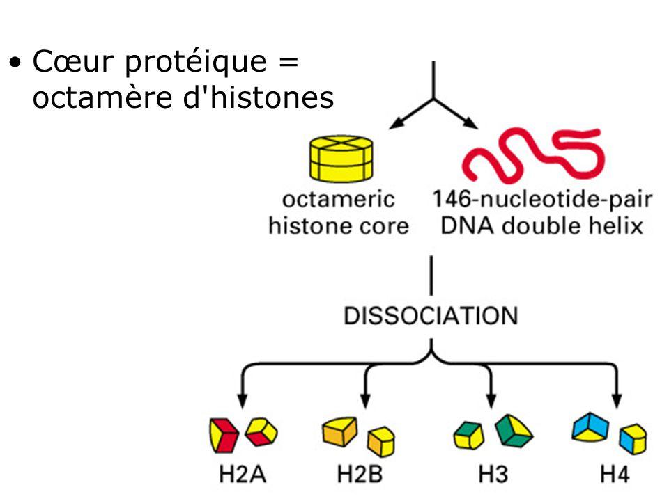Cœur protéique = octamère d histones