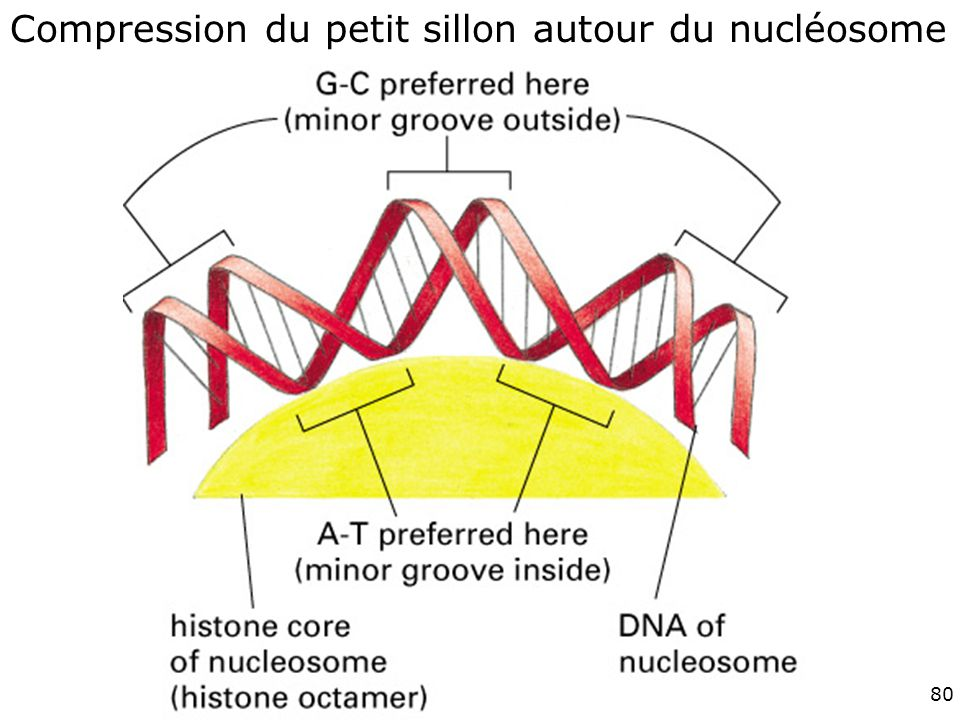 Fig 4-28 #10p211 Compression du petit sillon autour du nucléosome