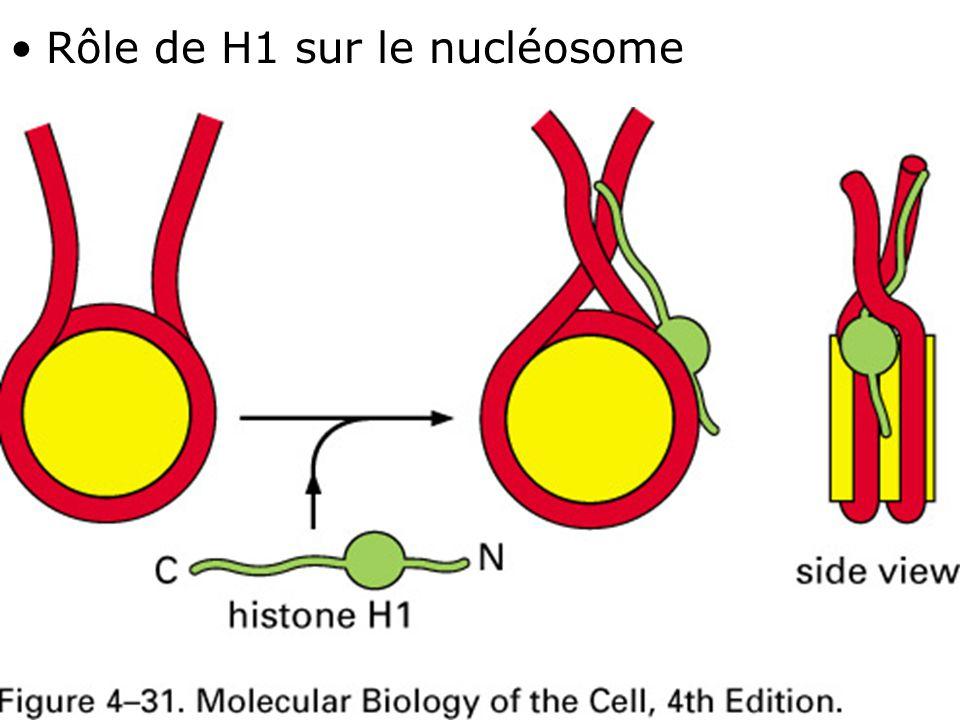 Rôle de H1 sur le nucléosome