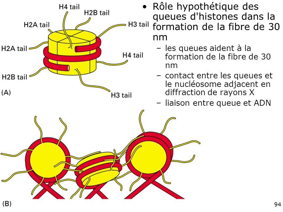 Vendredi 30 novembre 2007 Rôle hypothétique des queues d histones dans la formation de la fibre de 30 nm.