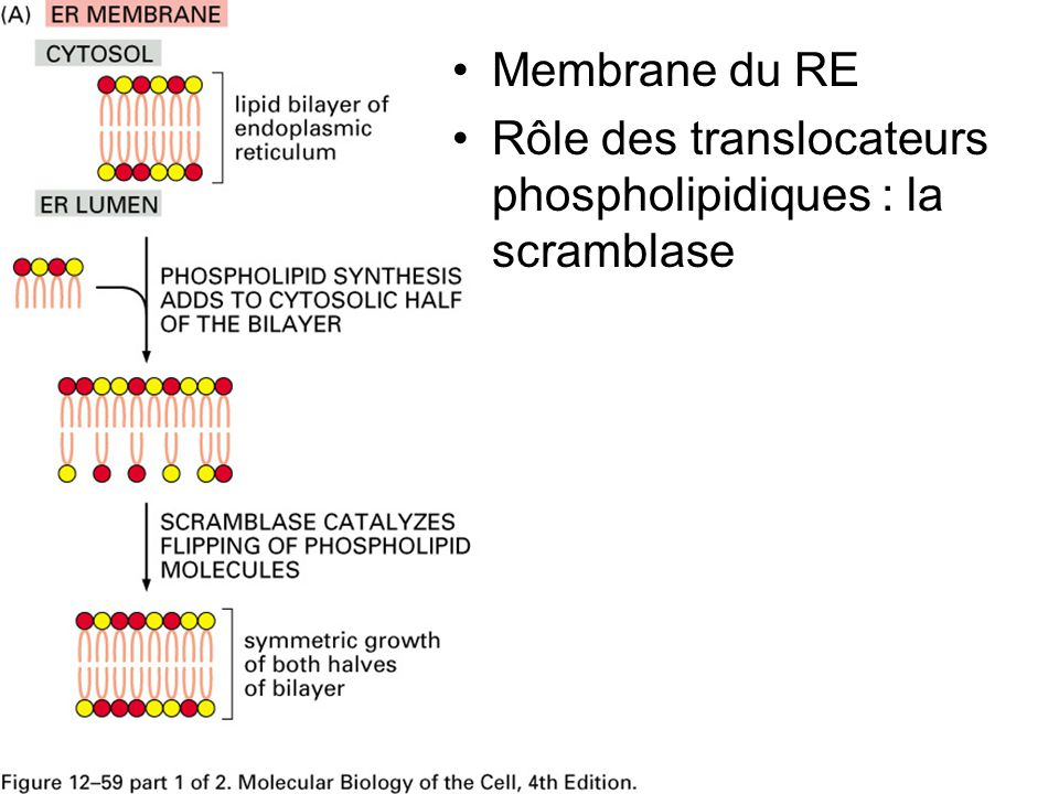 Jeudi 27 septembre 2007 Membrane du RE. Rôle des translocateurs phospholipidiques : la scramblase.