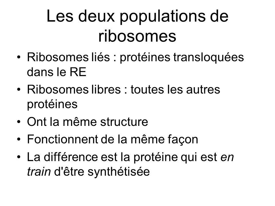 Les deux populations de ribosomes