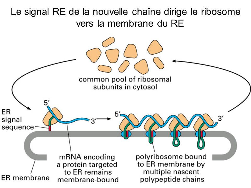 Jeudi 27 septembre 2007 Le signal RE de la nouvelle chaîne dirige le ribosome vers la membrane du RE.