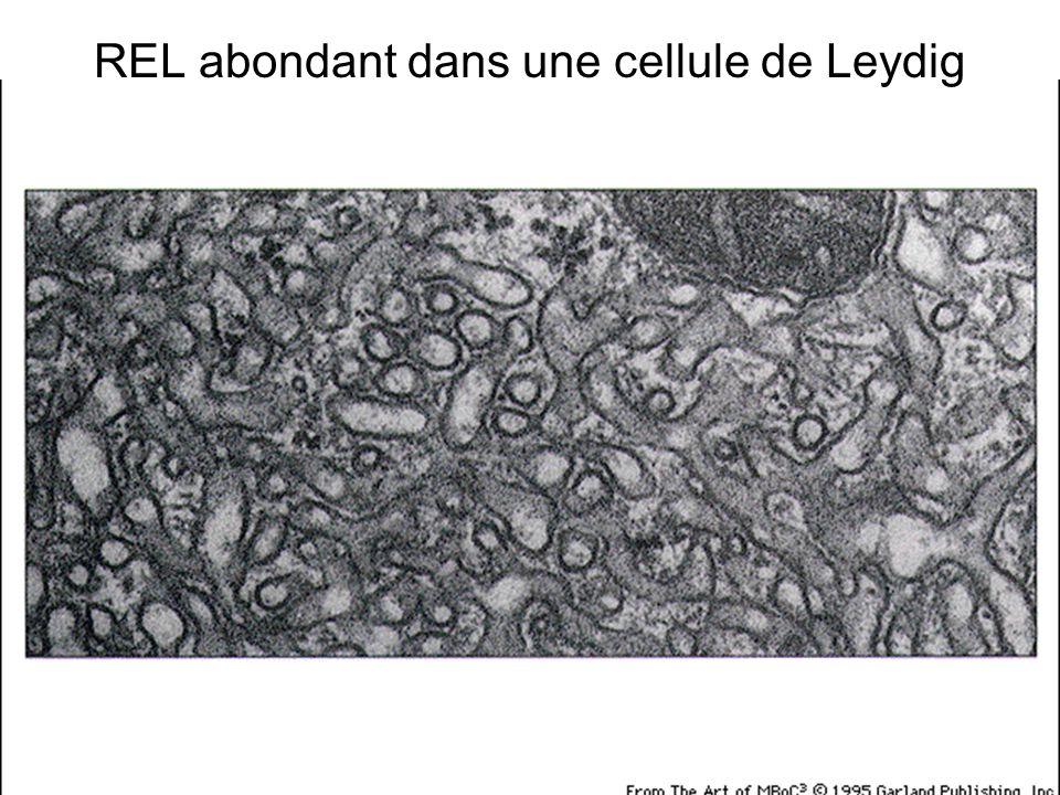 REL abondant dans une cellule de Leydig