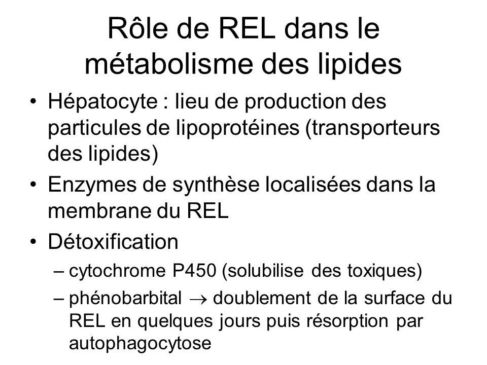 Rôle de REL dans le métabolisme des lipides