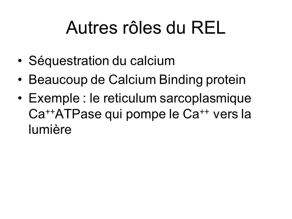 Autres rôles du REL Séquestration du calcium