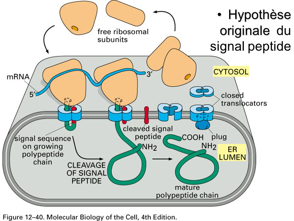 Fig 12-40 Hypothèse originale du signal peptide