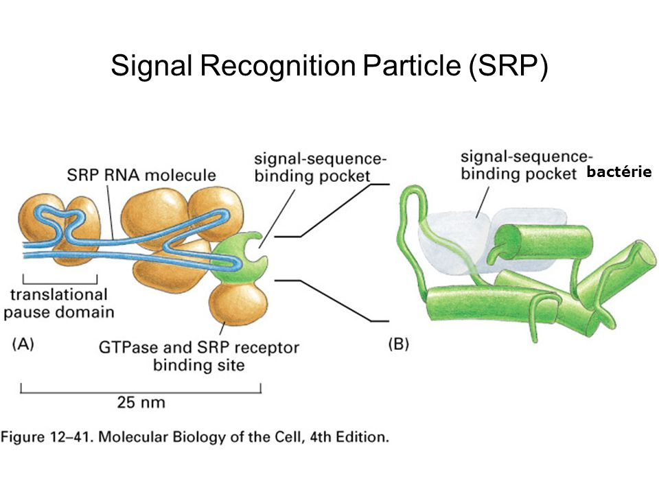 Signal Recognition Particle (SRP)