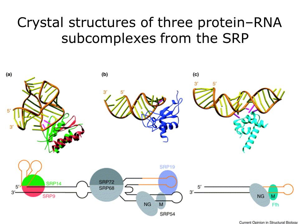 Crystal structures of three protein–RNA subcomplexes from the SRP