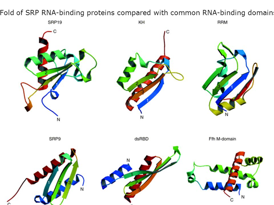 Jeudi 27 septembre 2007 Fold of SRP RNA-binding proteins compared with common RNA-binding domains. Wild,K2002 fig3.