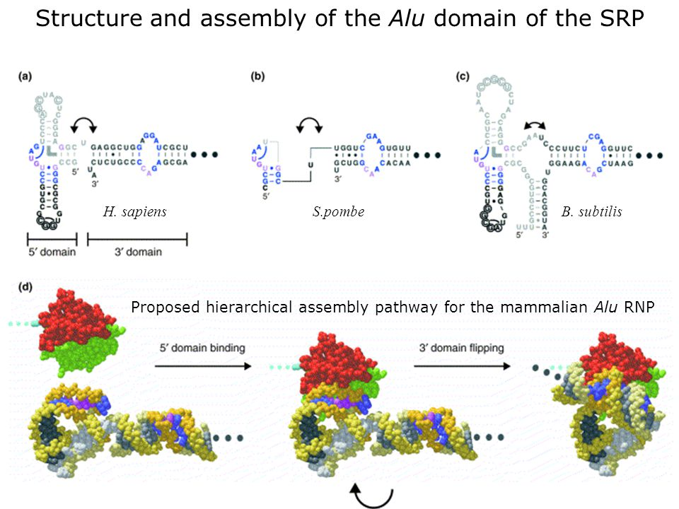 Wild,K2002 fig4 Structure and assembly of the Alu domain of the SRP