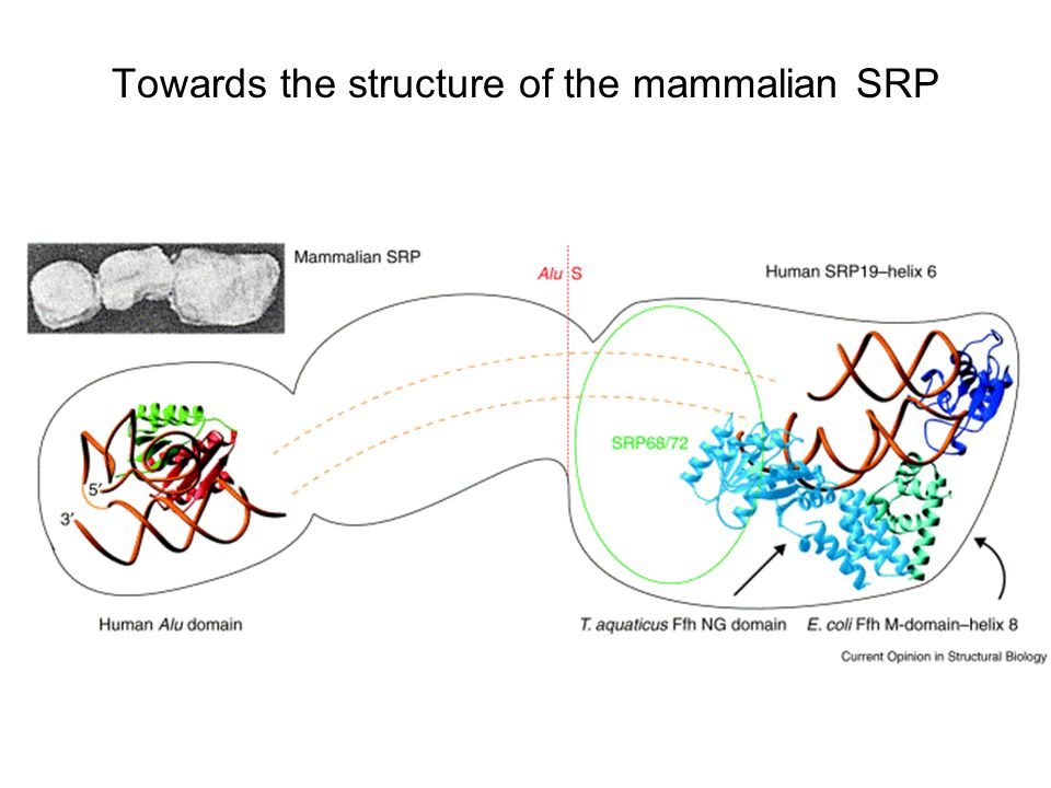 Towards the structure of the mammalian SRP