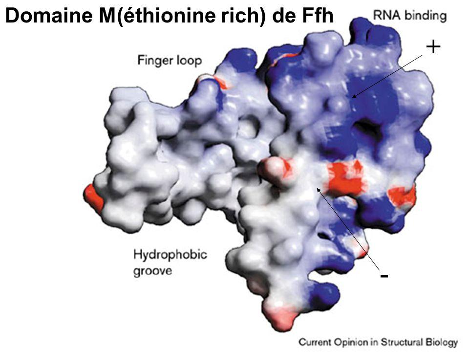 Stroud,RM1999Fig 3 + - Domaine M(éthionine rich) de Ffh