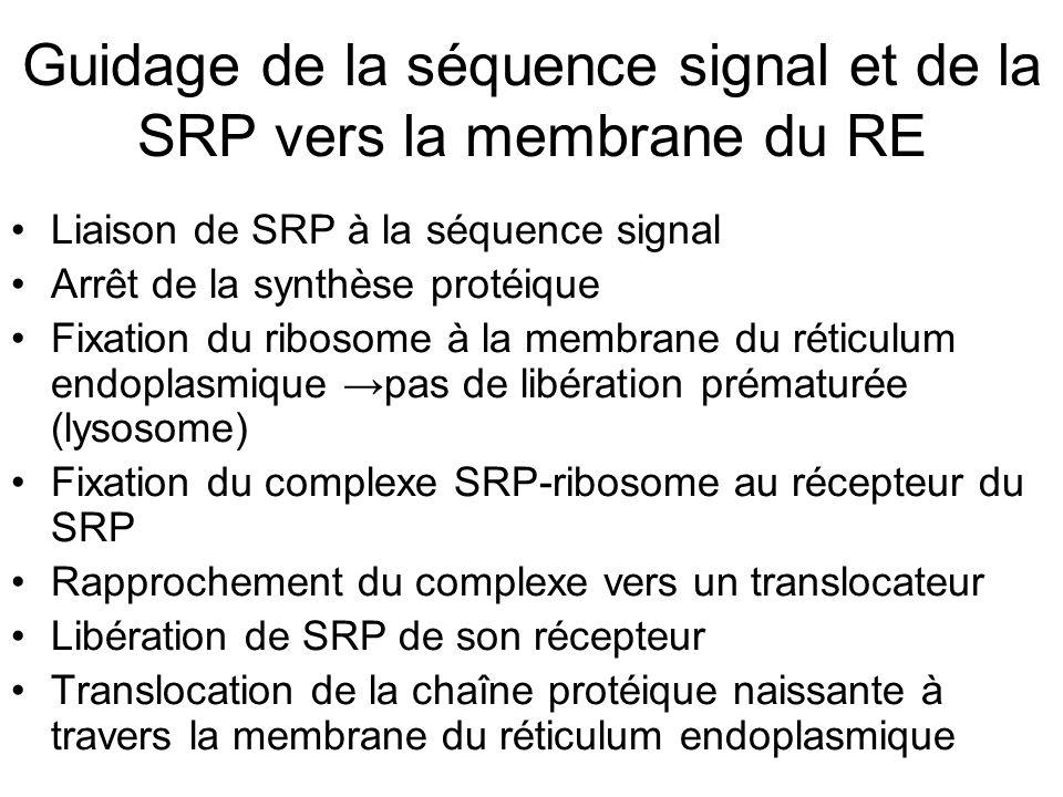 Guidage de la séquence signal et de la SRP vers la membrane du RE