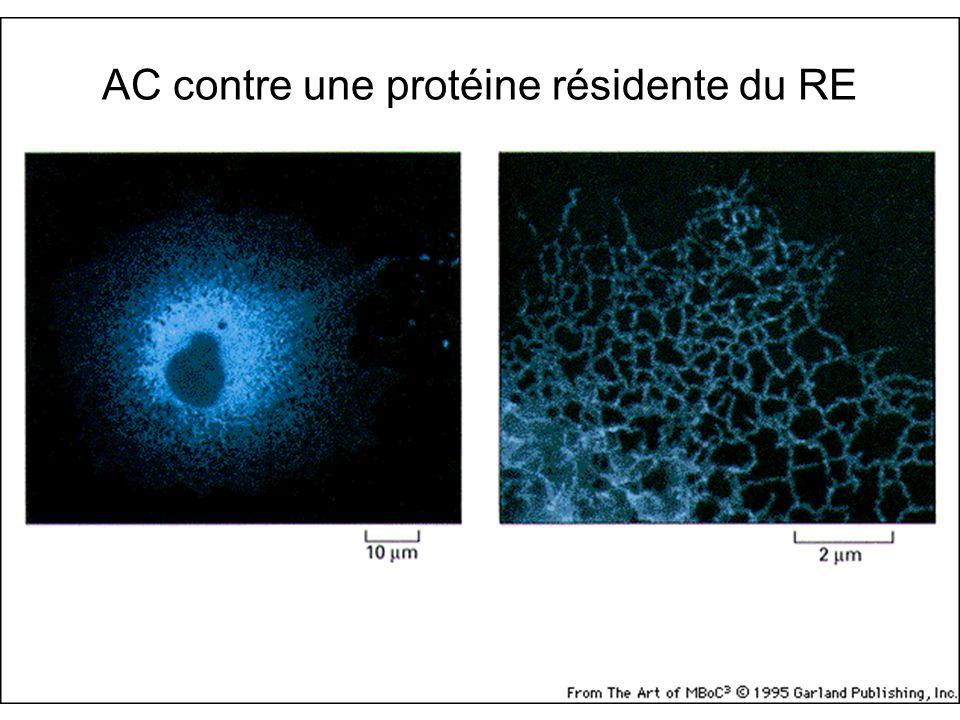 AC contre une protéine résidente du RE