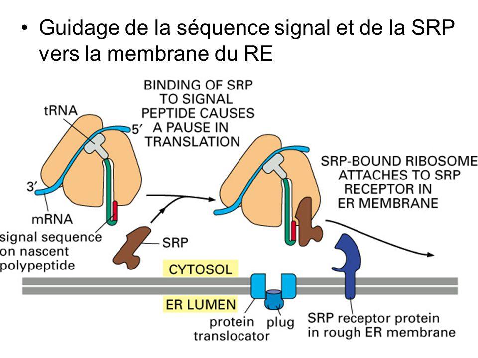 Jeudi 27 septembre 2007 Guidage de la séquence signal et de la SRP vers la membrane du RE.