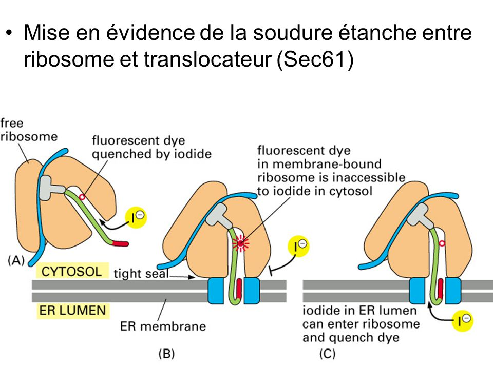 Jeudi 27 septembre 2007 Mise en évidence de la soudure étanche entre ribosome et translocateur (Sec61)
