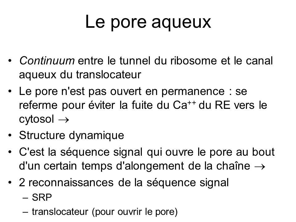 Le pore aqueux Continuum entre le tunnel du ribosome et le canal aqueux du translocateur.