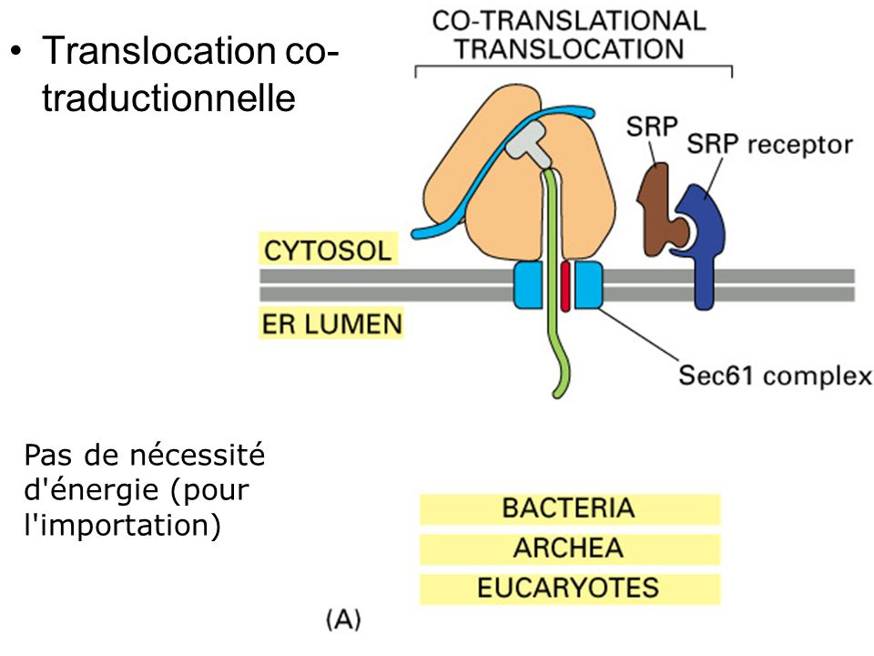 Fig 12-45(A) Translocation co-traductionnelle