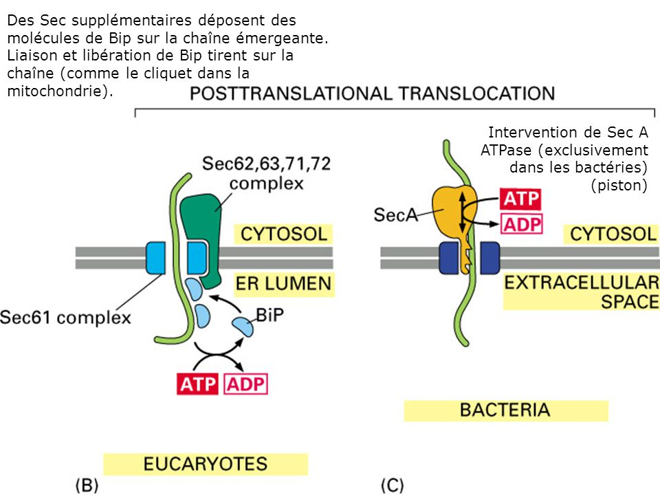 Fig 12-45(BC) Translocation post-traductionnelle