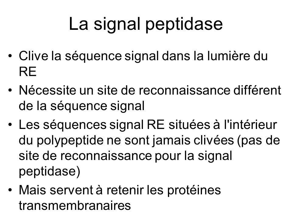 La signal peptidase Clive la séquence signal dans la lumière du RE