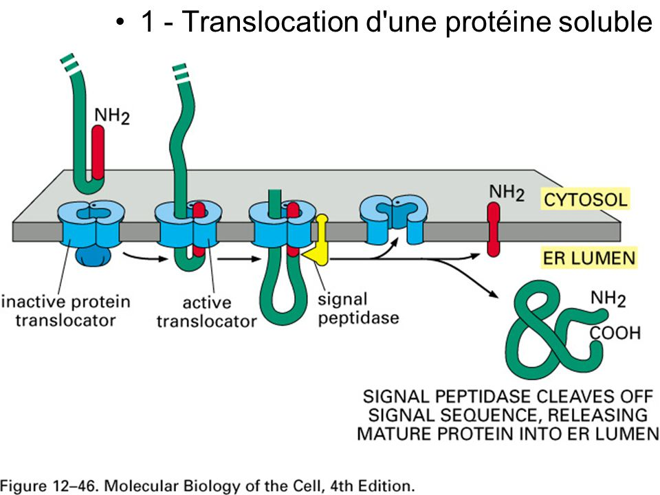 Fig 12-46 1 - Translocation d une protéine soluble