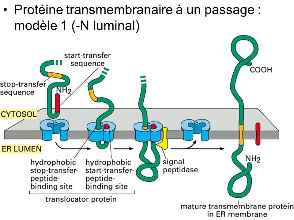 Protéine transmembranaire à un passage : modèle 1 (-N luminal)