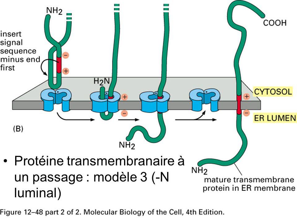 Jeudi 27 septembre 2007 Fig 12-48(B) Protéine transmembranaire à un passage : modèle 3 (-N luminal)