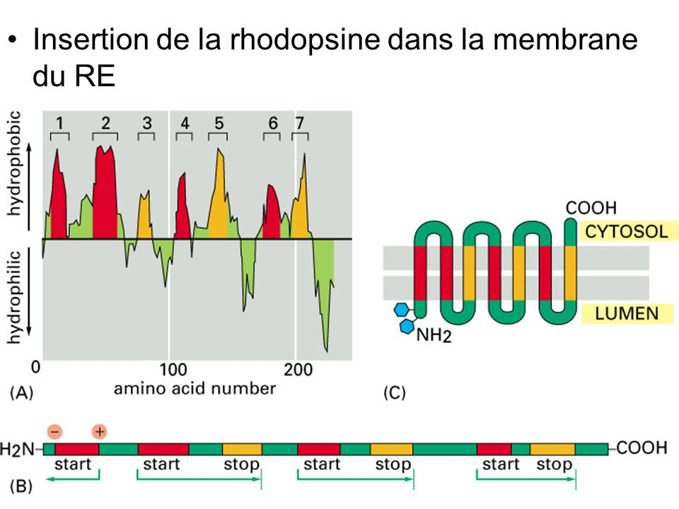 Fig 12-50 Insertion de la rhodopsine dans la membrane du RE