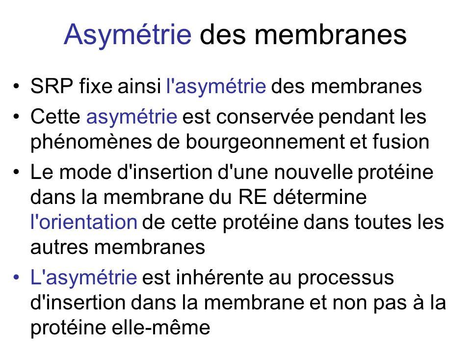 Asymétrie des membranes