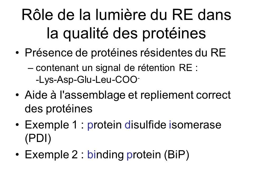 Rôle de la lumière du RE dans la qualité des protéines