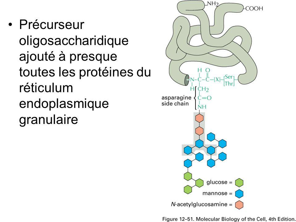 Jeudi 27 septembre 2007 Précurseur oligosaccharidique ajouté à presque toutes les protéines du réticulum endoplasmique granulaire.