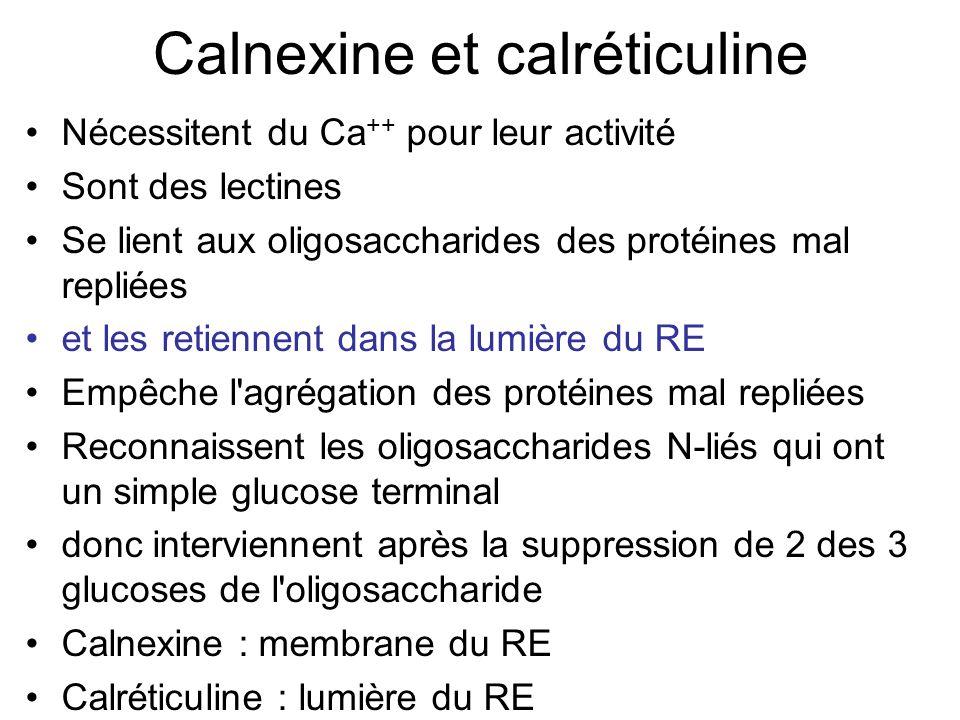 Calnexine et calréticuline