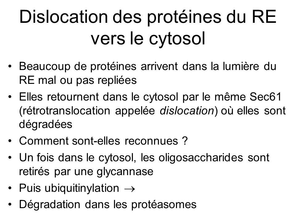 Dislocation des protéines du RE vers le cytosol