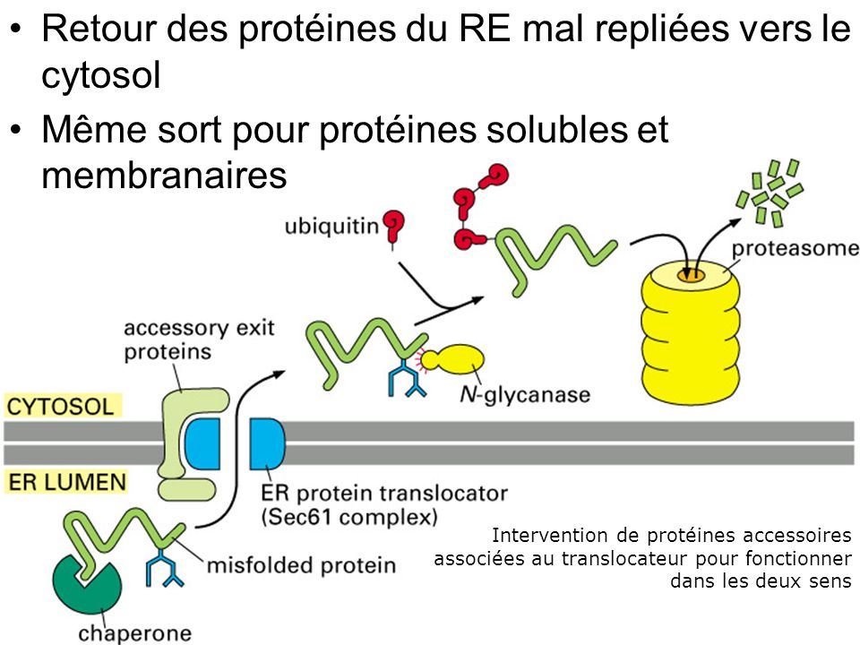 Fig 12-55 Retour des protéines du RE mal repliées vers le cytosol