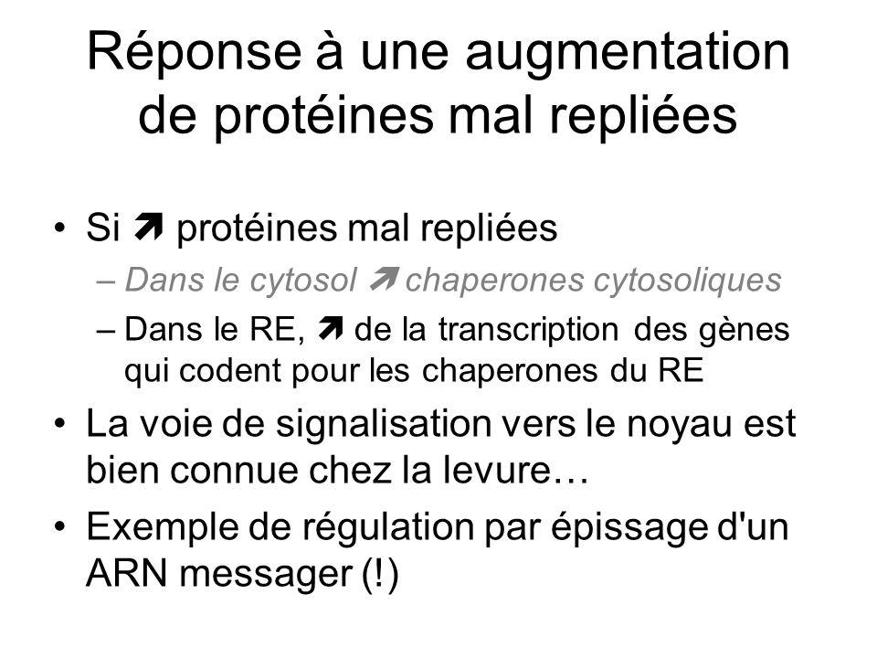 Réponse à une augmentation de protéines mal repliées