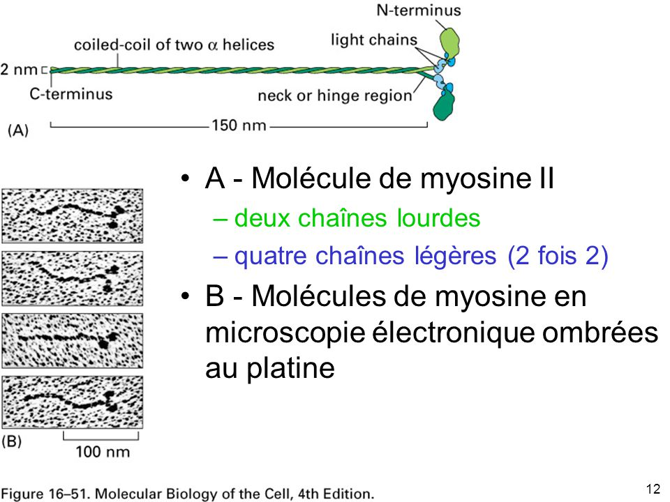 Fig 16-51 A - Molécule de myosine II