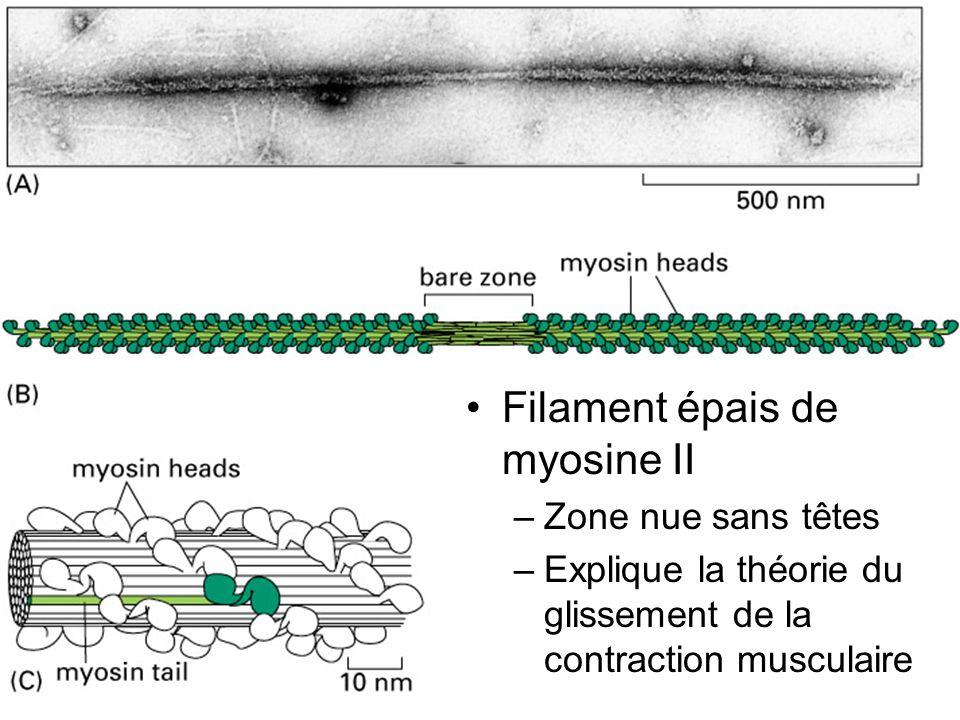 Fig 16-52 Filament épais de myosine II Zone nue sans têtes