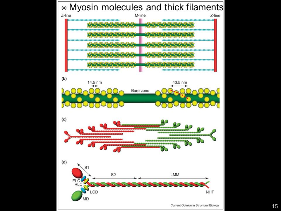 Myosin molecules and thick filaments