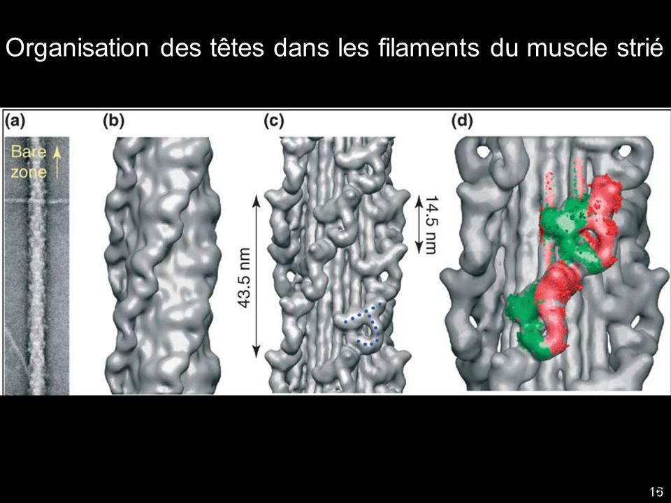 Organisation des têtes dans les filaments du muscle strié