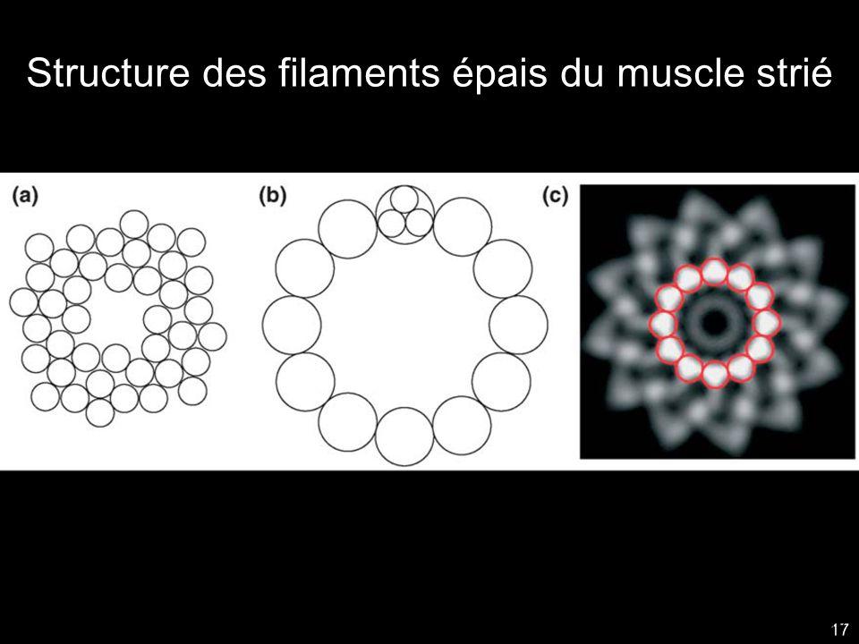 Structure des filaments épais du muscle strié