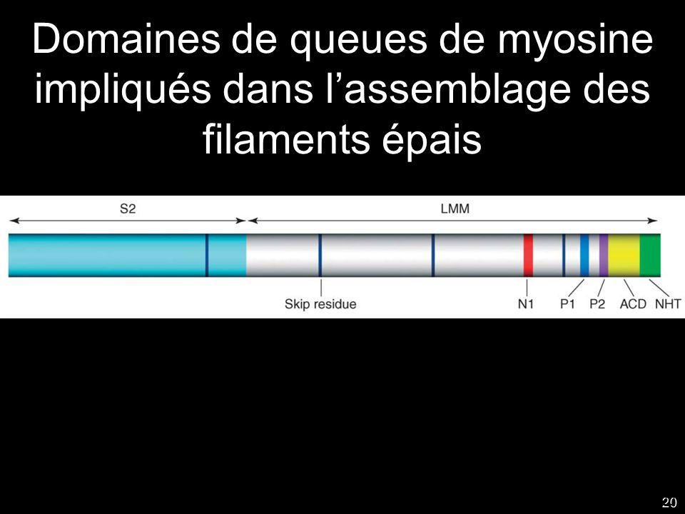 Mercredi 24 octobre 2007 Domaines de queues de myosine impliqués dans l'assemblage des filaments épais.