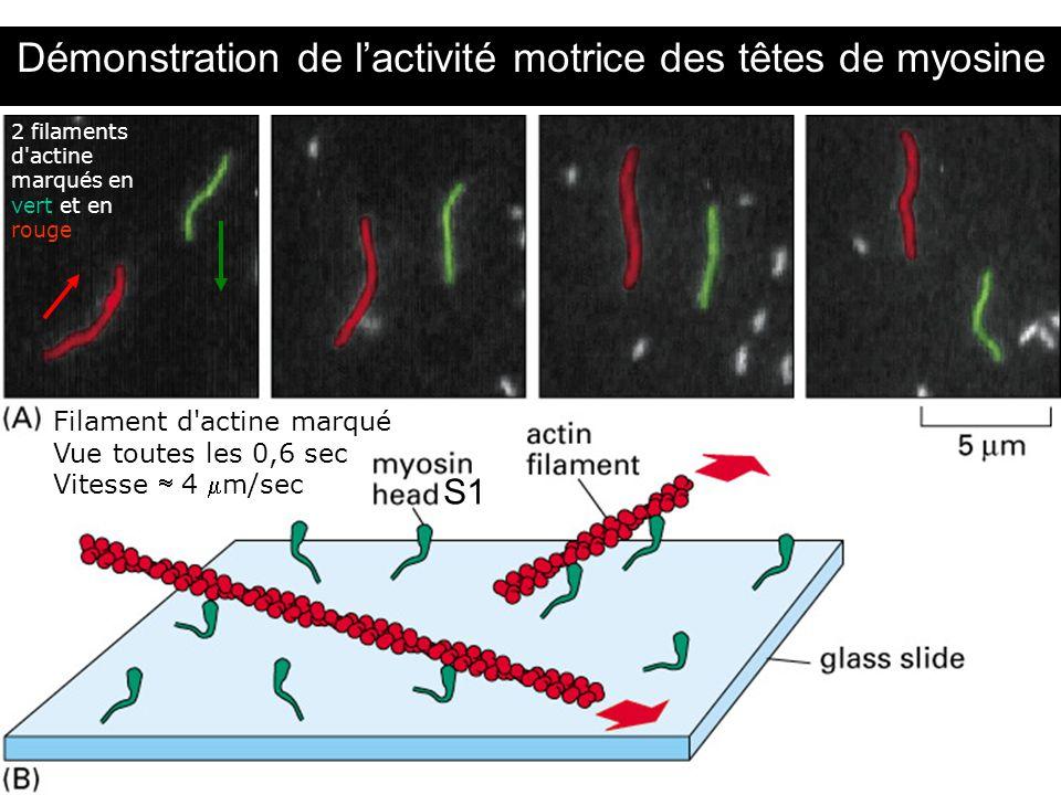 Démonstration de l'activité motrice des têtes de myosine