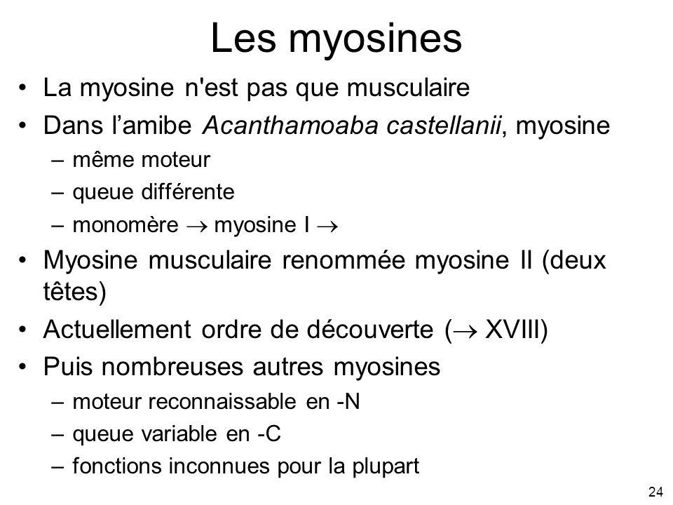 Les myosines La myosine n est pas que musculaire