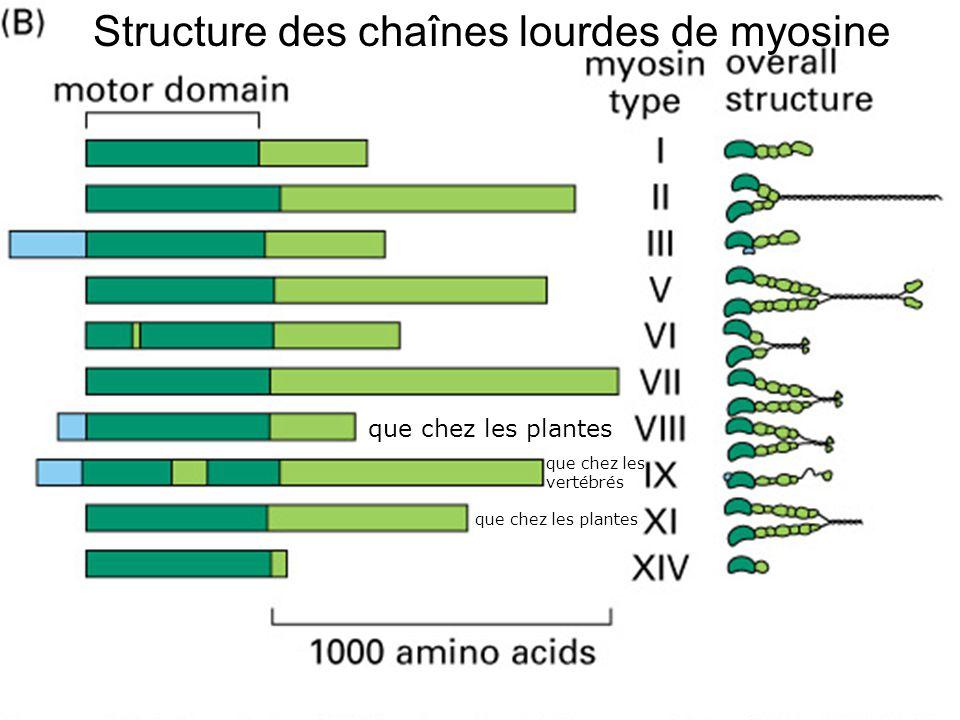 Structure des chaînes lourdes de myosine