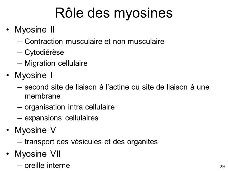 Rôle des myosines Myosine II Myosine I Myosine V Myosine VII #1p952